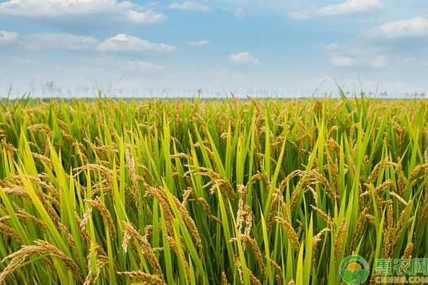 有机水稻如何栽培?有机水稻的栽培管理技巧