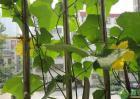 很多人喜欢阳台种植丝瓜,这种方法及管理要点有哪些?