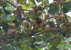 今年猕猴桃价格多少钱一斤?猕猴桃种植前景分析