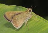 对稻苞虫特效的药有哪些?
