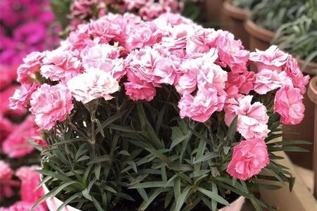 上海適合養什么花