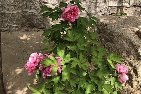天津適合養什么花,市花和市樹是什么