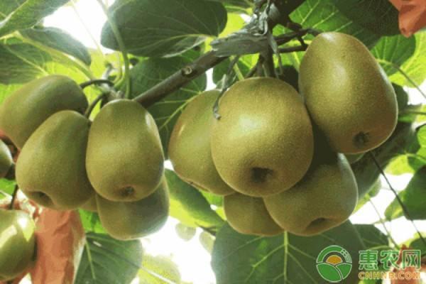 猕猴桃怎么挑选pin种?猕猴桃什么pin种好?