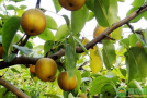 优质高产梨pin种介绍