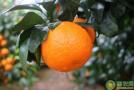 种植前景好的柑橘pin种