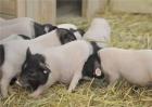 母猪产前准备工作千万要做好这5点!