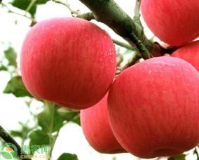 优质高产的苹果pin种介绍