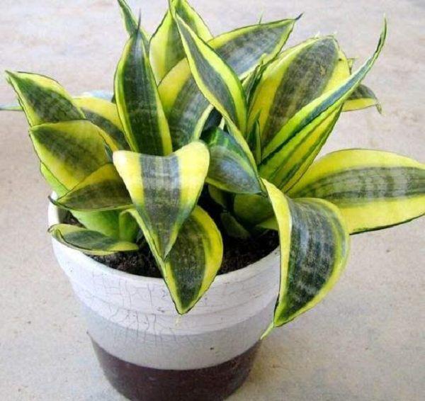 净化空气的明星植物,净化能力最佳的植物排名