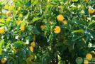 柠檬产地和品种大全