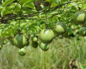 百香果产地和品种大全