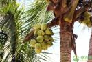 椰子产地和品种介绍