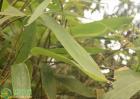 粽叶价格多少钱一斤?2020年粽叶种植前景及效益分析