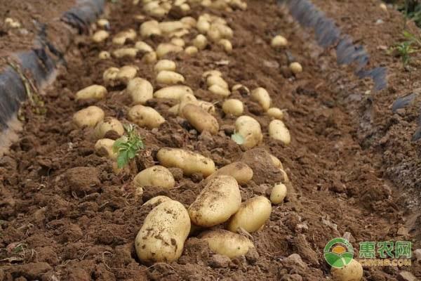 今日土豆价格多少钱一斤?附近期土豆产区行情走势