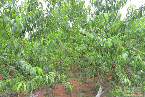 2020年很受欢迎的七大特桃品种