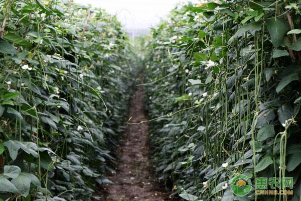 豆角种子怎么挑选?育苗方法有哪些?