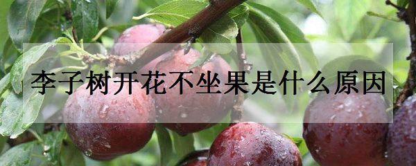 李子树开花不坐果是什么原因
