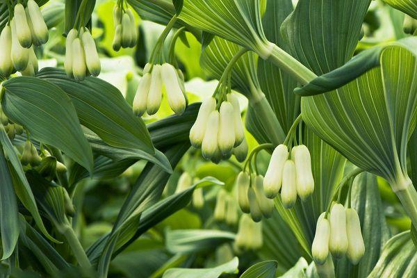 家养盆栽玉竹的养殖方法和注意事项是什么