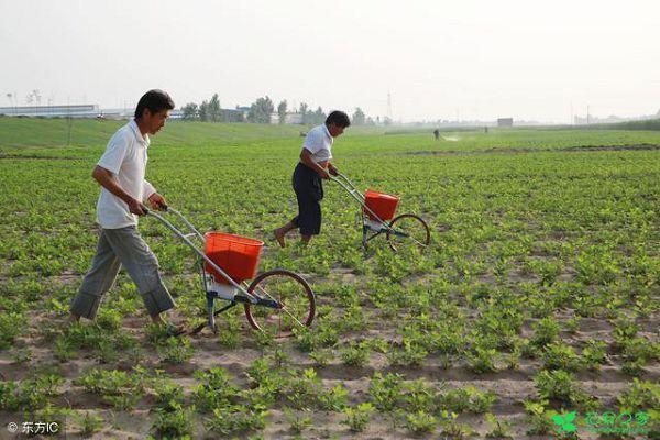 花生一亩地需要用多少肥料?花生高产施肥技术