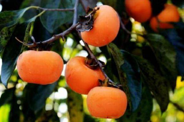 柿子树什么时候栽种好,一亩种多少棵?