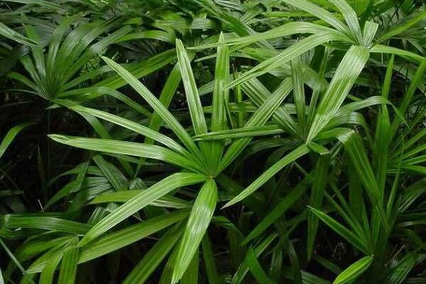 观音竹施肥方法及注意事项,春季棕竹怎么施肥