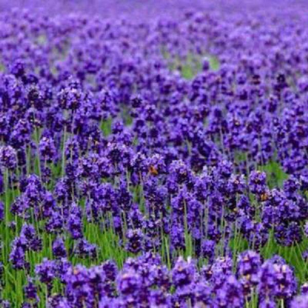 薰衣草的养殖方法和注意事项