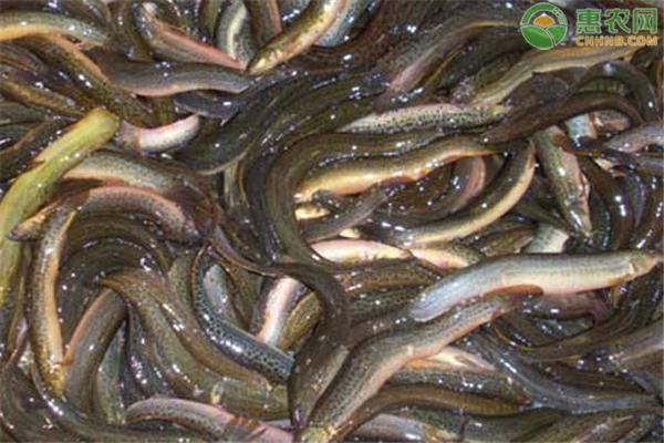 2020年泥鳅价格多少钱一斤?泥鳅养殖前景分析