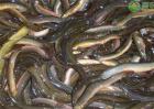 泥鳅养殖成本和利润是怎样的?