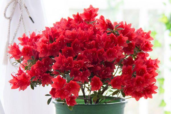 家养盆栽杜鹃花的养殖方法和注意事项有哪些