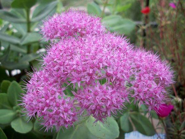 八宝景天怎么养殖种植,八宝景天繁殖方法