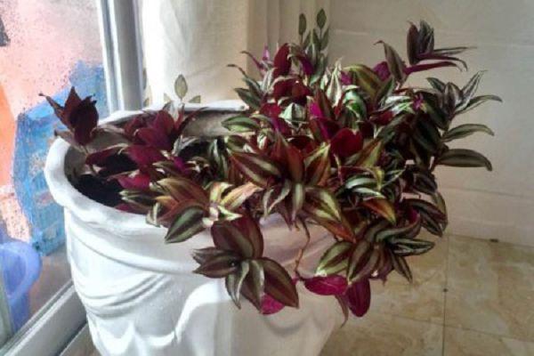 吊竹梅和紫竹梅有毒吗,家里养好吗?
