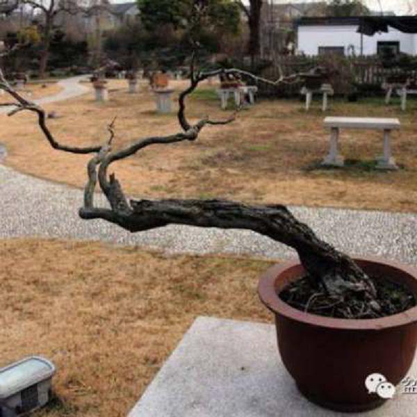 冬季树桩盆景养护要点
