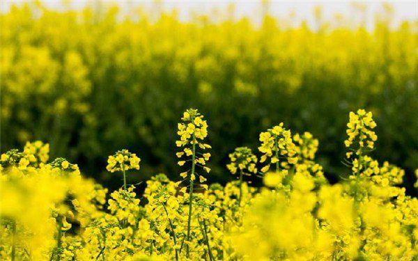油菜花冬季开花吗,如何养护开花更多