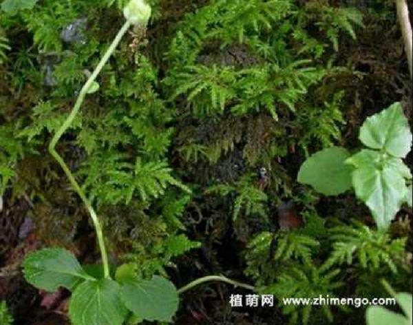 独丽花怎么繁殖,可用播种和分株方式
