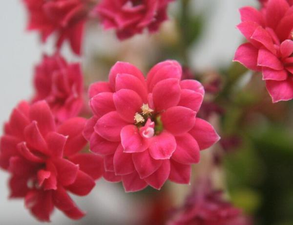 长寿花开花后怎么养护?
