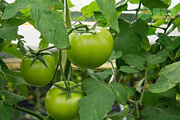 种植西红柿赚钱吗?种植前景如何?(附种植效益)