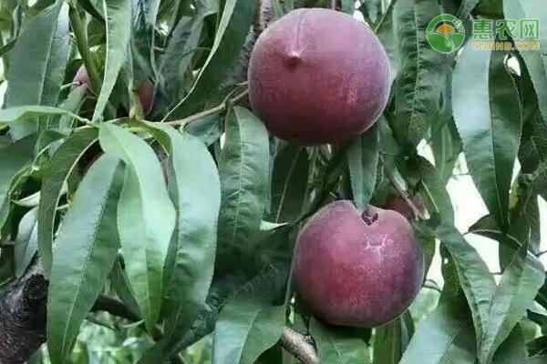 黑桃多少钱一斤?种植前景如何?