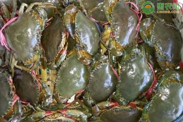 2020青蟹价格多少钱一斤?青蟹养殖前景分析