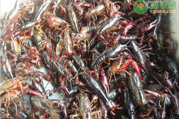 龙虾养殖一亩投资成本