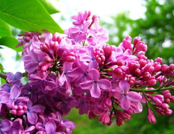 盆栽丁香花的种植方法