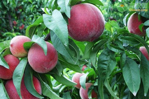 2020血桃树苗多少钱一棵?血桃树种植前景分析