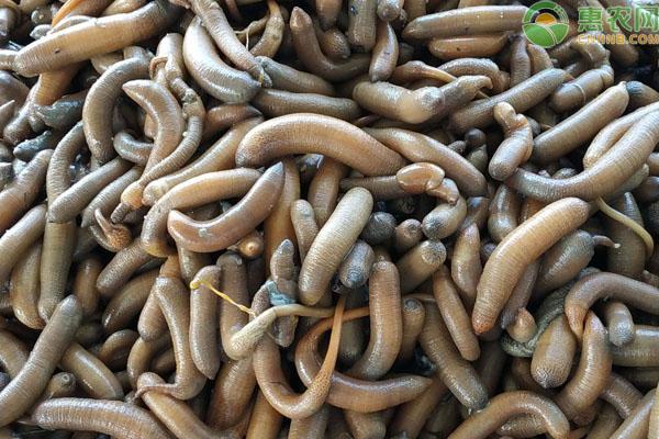 泥虫多少钱一斤?可以人工养殖吗?