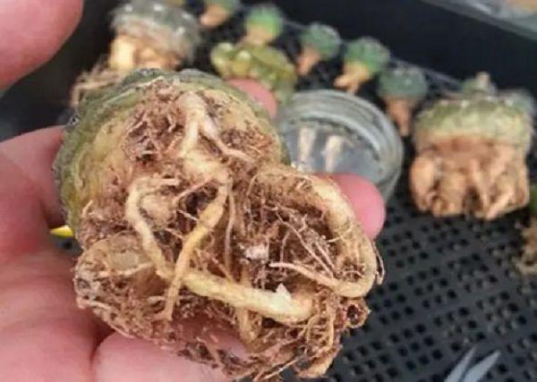 仙人球怎么修根上盆