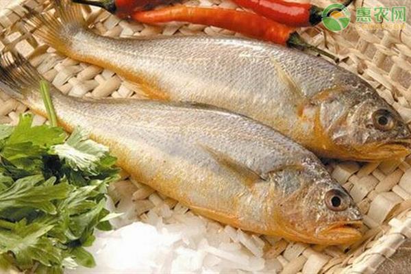 2020黄花鱼价格多少钱一斤?养殖黄花鱼能赚钱么?