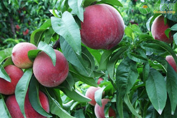 血桃种植成本和利润分析