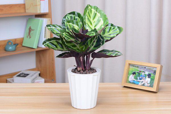 家养盆栽孔雀竹芋的养殖方法和注意事项是有哪些