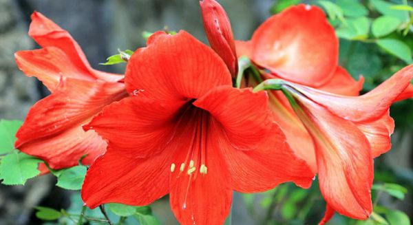 朱顶红花后怎么处理,留种和不留种处理方法