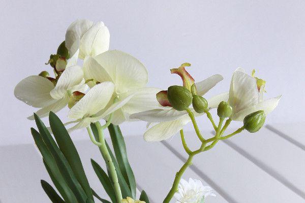 蝴蝶蘭是木本還是草本