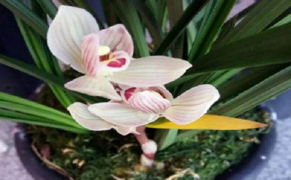蘭花最適宜的生長溫度