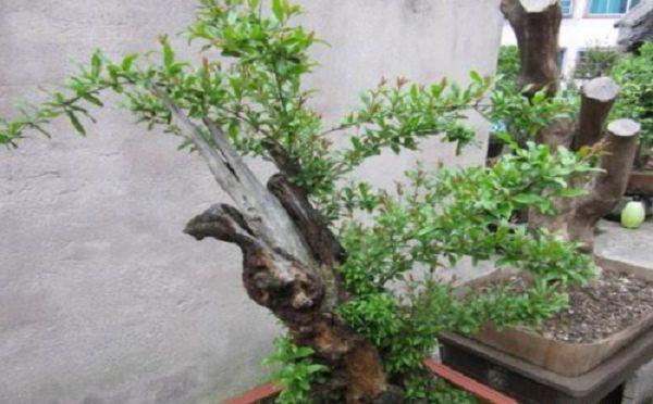 石榴樹沒根或根很少能栽活嗎?