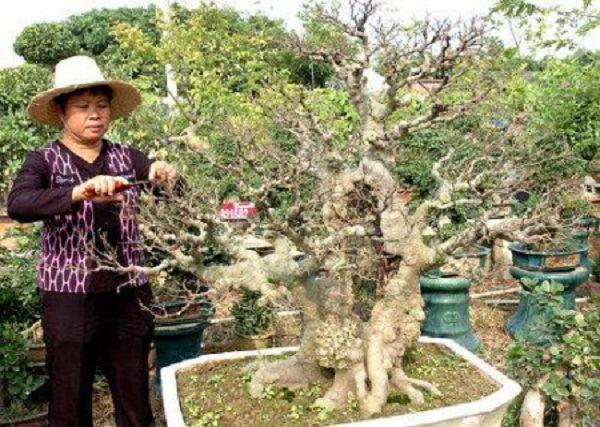 樸樹盆景的制作方法